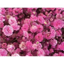 Gyp Pink