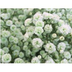 Gyp Apple Green
