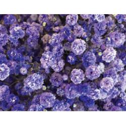 Gyp Purple