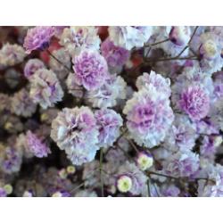 Gyp Light Purple