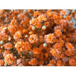 Gyo Orange