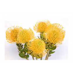 Pincushion Yellow High Gold