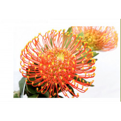 Pincushion Orange Caroline