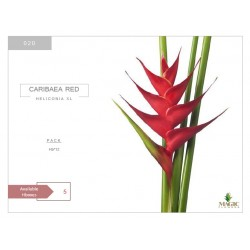 Heliconia Xl Caribaea Red