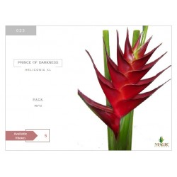 Heliconia Xl Prince of...